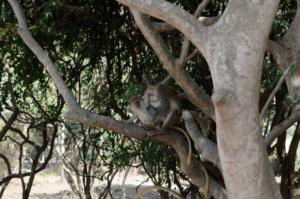 Baby monkey and his mum, in Bijilo monkey park