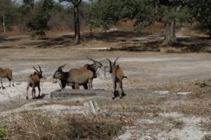 Ibex on safari in Fathala safari park