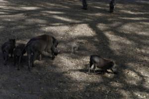 Warthogs on safari in Fathala safari park