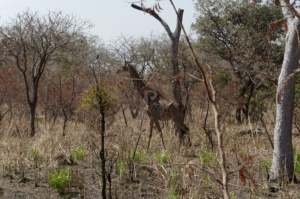 A Giraffe in the wild on Safari in the Fathala safari park
