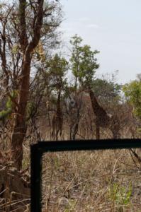 A Pair of Giraffes in the wild on safari.