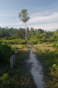 Lonely palm tree long the path
