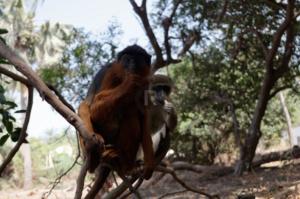Red monkey and his grey friend in Bijilo monkey park
