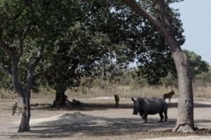 Rhinoceros on safari at Fathala safari park